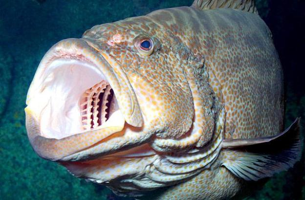 animals-blackgrouper-slide1-web.jpg